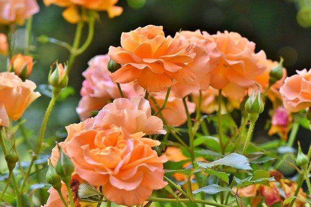 Krása růží